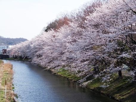 足利の桜32