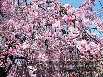 袋川の桜11