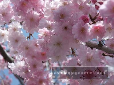袋川の桜8