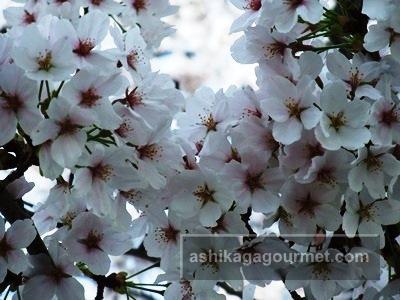 袋川の桜3