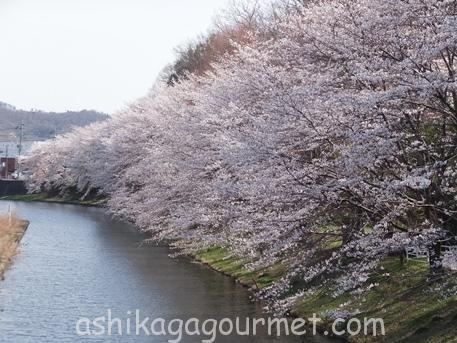 足利の桜33