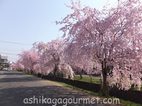 旧袋川沿いのしだれ桜9