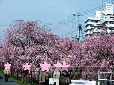 足利しだれ桜まつり~袋川沿いに見事な並木