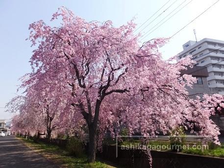 旧袋川沿いのしだれ桜4