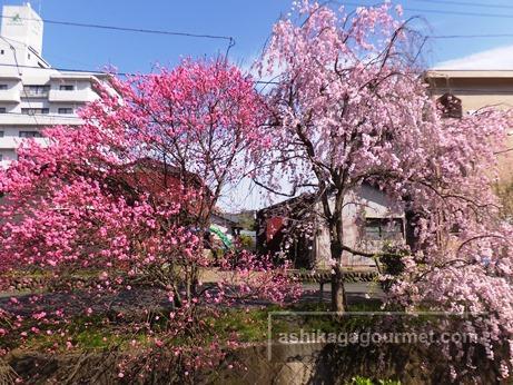 枝垂れ桜さんぽ道2016-6