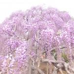 藤は4月22日~GW中が見頃 あしかがフラワーパーク ★★★★★